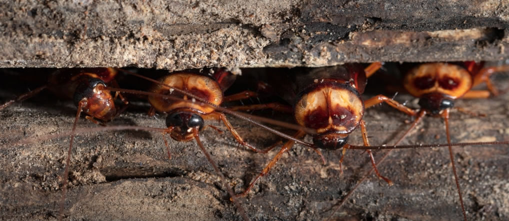 Queensland Cockroach Crisis